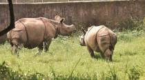 Rhino carcass riddled with bullets, horn removed found in Kaziranga