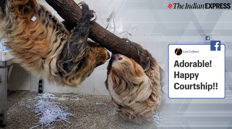Sloths, Sloth couple in Zoo, Cincinnati, Trending, Indian express news