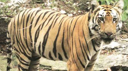 Tigers, Tigers in india, tiger india population, population theory, Population theory explained, Wildlife Institute of India, T1C1, Indian Express