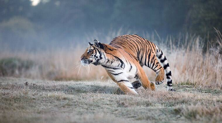 tiger chases jeep in ranthambore, ranthambore jeep tiger viral video, tiger chases jeep viral video, scary tiger video, tiger chases tourists, tiger trending, indian express, indian express news
