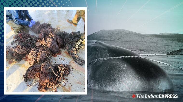 beached sperm whale 100kg waste Scotland, plastic waste, plastic pollution, beached sperm whale,