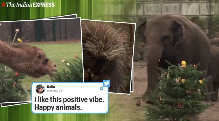 Berlin Zoo, Zoo animals feed on unsold Christmas tree, Christmas 2019, Trending, Indian Express news