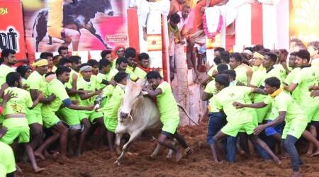 Jallikattu, Jallikattu Pongal, Tamil Nadu Jallikattu, Jallikattu in Tamil Nadu, Madurai Jallikattu, Alanganallur Jallikattu, Pudukottai Jallikattu, Avarangadu Jallikattu, Trichy Jallikattu, Jallikattu in Madurai, Jallikattu Injuries, Jallikattu Bulls, Jallikattu Competition, Tamil Nadu Pongal, Madurai Pongal, Chennai News, Indian Express News