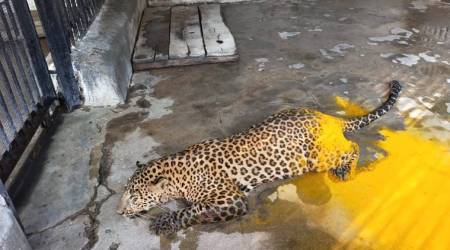 Hyderabad: Leopard ensnared in wire-trap rescued by Nehru Zoological Park officials