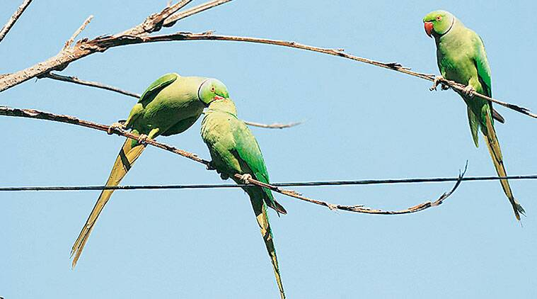 parrot, wildlife, parrot, wildlife, parrot, ranjit lal sunday eye, indian express, indian express news