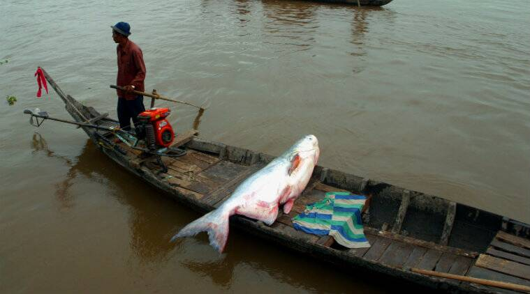 freshwater fish, fishes, fish, The freshwater giants are dying