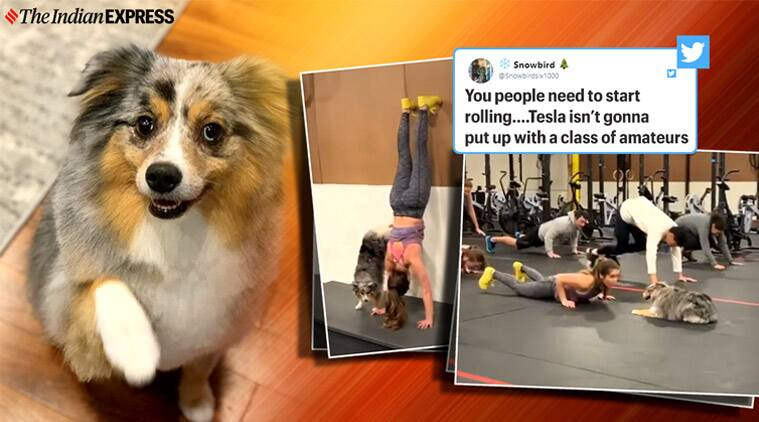 dog cross-fit instructor, dog cross fit exercise video, tesla cross fit video, mini aussie dog fitness videos, dog gym videos, viral news, indian express