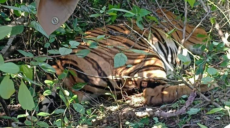 Two more tiger carcasses found in Goa, probe underway