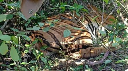 Three more tiger carcasses found in Goa, forest officials say all 4 poisoned