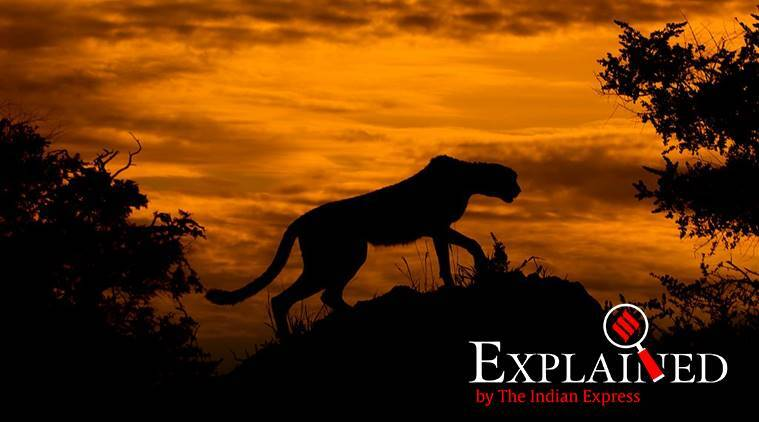 African cheetah, Supreme Court, India to get African cheetah, Asiatic cheetah, endagered species in india, indian express, indian express explained