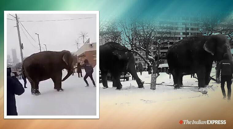 Elephant walking in the snow, elephants playing in the snow, elephants loitering on the streets, Viral video, Russia, Yekaterinburgan, Trending, Indian Express news.
