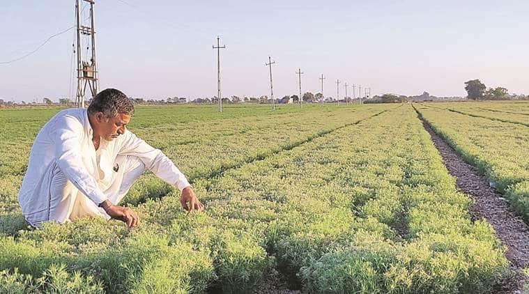 Rabi crops, gujarat Rabi crops, gujarat farmers, indian farmers, rabi season, gujarat news