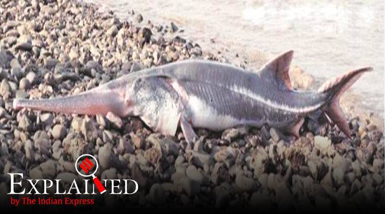Chinese paddlefish, giant fish extinct, red list extinct animals, International Union for Conservation of Nature