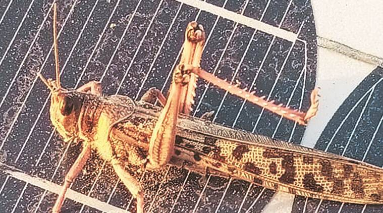 Govt steps up locust control operations; drones to be deployed soon