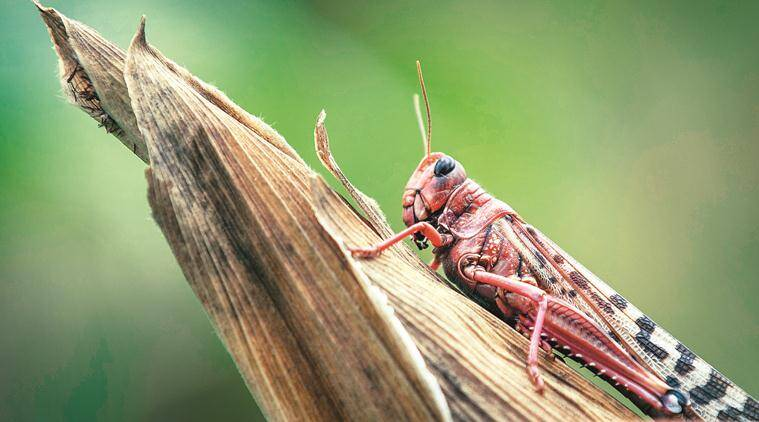How farmers are fighting locusts: Beating empty utensils, squishing them manually