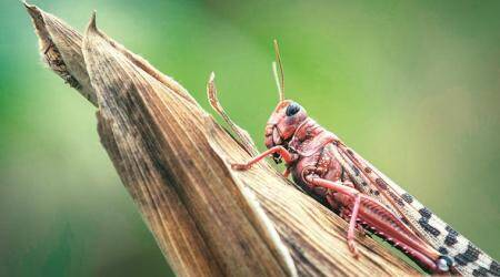 Agri dept says no swarms in Punjab, but locust sightings keep farmers on tenterhooks