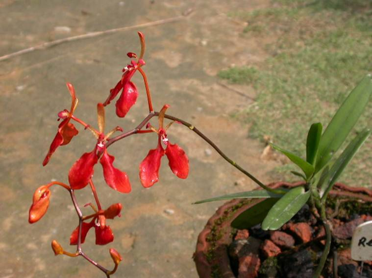 Arunachal Pradesh orchid plants, orchid plants Arunachal Pradesh, Botanical Survey of India, new species of orchids, Northeast news, Indian Express