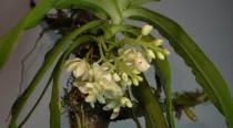 In a first, Arunachal Pradesh to 'red list' its orchids for protection