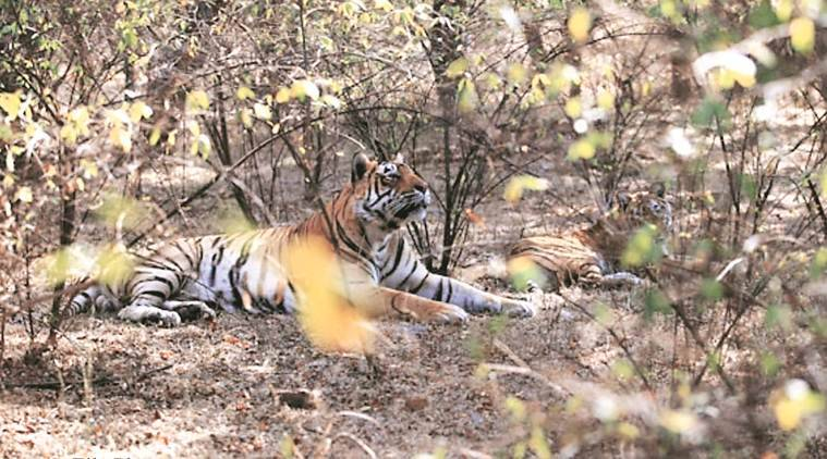 Rajasthan tiger death, Ranthambore tiger found dead, tiger cubs found dead, tiger population, indian express