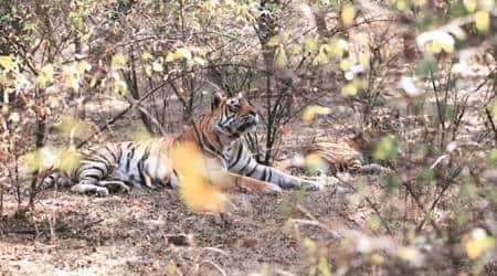 man-animal conflict, Maharashtra tiger attack, Chandrapur tiger attack, nagpur news, maharashtra news, indian express news