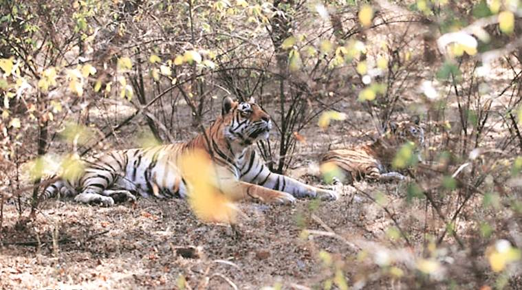 Maharashtra: Two killed in tiger attacks in Chandrapur
