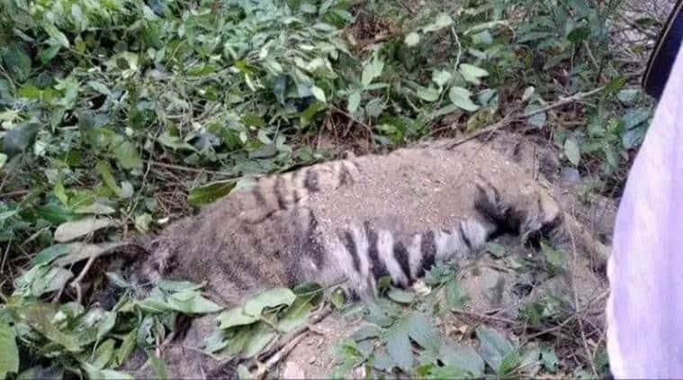 goa tiger dead, tiger carcass goa forest, goa chief minister, goa news, latest news, indian express