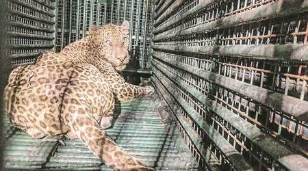 Gujarat: Two children attacked in Surat last week; Forest dept replaces iron cages with fibre traps to catch leopards