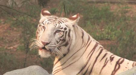 delhi zoo, delhi zoo white tiger, white tiger, tigers in india, tiger population in india, delhi zoo tigers, delhi city news