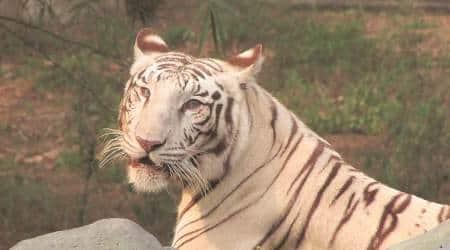 delhi zoo, delhi zoo white tiger, white tiger, tigers in india, tiger population in india, delhi zoo tigers, delhi city news