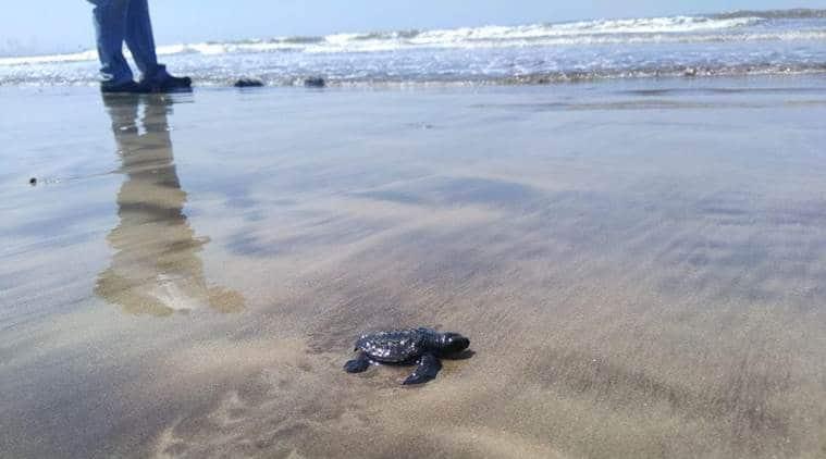 Mumbai news, mumbai city news, maharashtra news, Versova beach, turtle breeding ground, Chamber of Commerce, indian express news