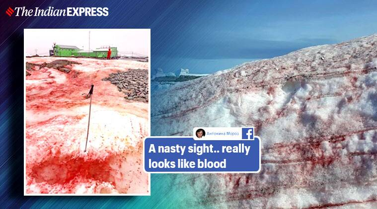 Antarctica, red snow, Antarctic turns red, Antarctica red snow, Antarctica red coloured snow, National Antarctic Scientific Center of Ukraine, Blood colour snow, snow turns red in Antarctica, Chlamydomonas nivalis, Ukraine, Antarctica, Trending, Indian Express news