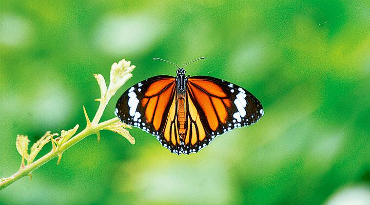 Down in Jungleland, Ranjit Lal, butterflies, Monarch butterfly, caterpillars, chrysalides, milkweed