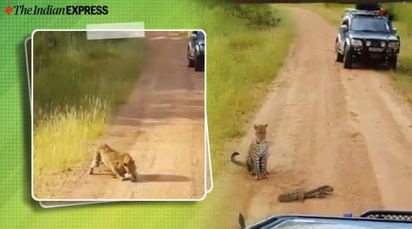 leopard monster lizard, leopard viral video, leopard vs lizard viral video, twitter reactions, trending, indian express, indian express news