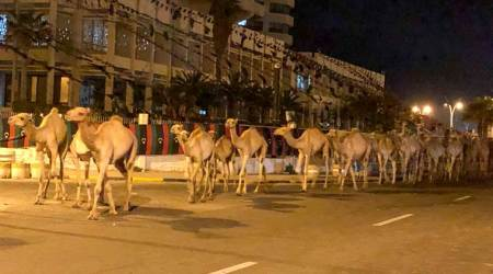 A herd of camels walk across the streets in Tripoli