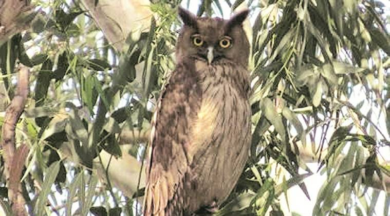 Bird Race 2020 held, Dusky Eagle Owl, bird of the day, Chandigarh news, indian express news