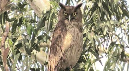 Chandigarh: Bird Race 2020 held, Dusky Eagle Owl is bird of the day