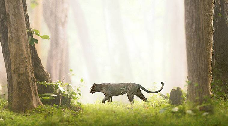 The Real Black Panther, documentary The Real Black Panther, nagarhole tiger reserve, Shaaz Jung, Shaaz Jung documentary,