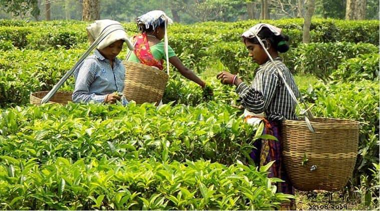 As Tripura's indigenous variety gains popularity, state tea board plans to increase supplyAs Tripura's indigenous variety gains popularity, state tea board plans to increase supply