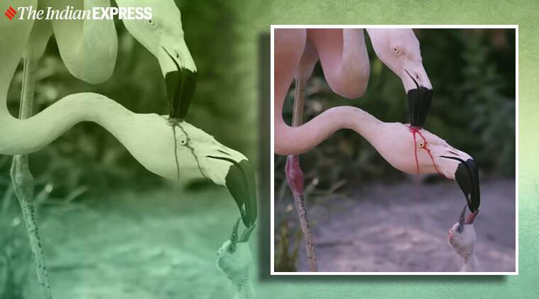 flamingos, crop milk, flamingos baby milk, how do flamingos feed chicks, lactating birds, baby flamingo milk video, indian express