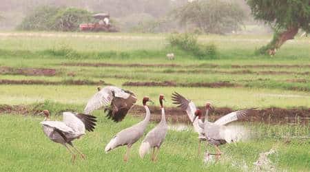 Chandigarh news, Chandigarh bird flu, Sukhna lake birds, eurasian common coot, sukhna lake, migratory birds, jalandhar, Animal Husbandry, bird flu, Indian express