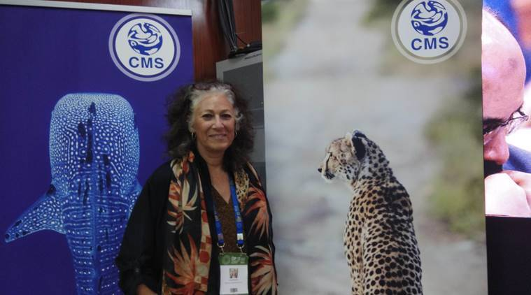How India can be an opportunity for cheetah, and why it will take time