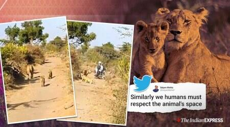 gir lions, gir forest, lioness cubs, lioness gives way to man, lion makes way for man, indian express, gujarat news