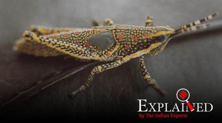 Explained: Why, despite efforts, the chain of periodic locust invasions is yet to be broken in India