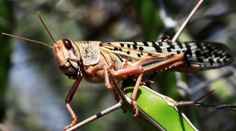 Maharashtra to step up vigil against locusts in border districts