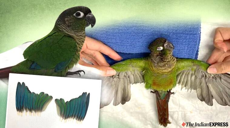 Parakeet, wing trimmed parakeet, Wing trimmed parakeet prosthetics, The Unusual Pet Vets, The Unusual Pet Vets prosthetic wings for parakeet, Parakeet injured after severe wing trim, Australia, Trending news, What is trending, Indian Express news