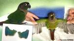 Parakeet gets prosthetic wings after it was unable to fly