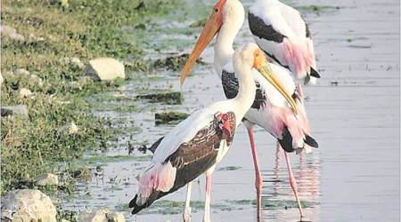 Spotted after 6 years: Painted Stork, tagged as part of wild bird monitoring study