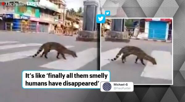 Indian civet spotted in Kozhikode town, Civet on the road, Small Indian civet roam around in Kerala town, Indian civet uses zebra crossing at a town in Kerala, Kerala News, Kozhikode town, coronavirus, Coronavirus pandemic, Covid-19, Coronavirus lockdown, Trending news, Indian Express news