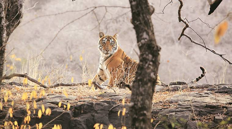 missing tigers from Ranthambore, Ranthambore Tiger Reserve, NGO Tiger Watch, jaipur news, indian express news