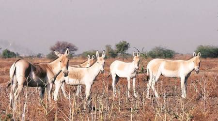 9th wild ass census: GPS, drones to help count wild asses in six districts